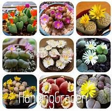 lebende steine arten buy wholesale lithops seeds from china lithops