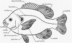Pengertian Ikan Serta Mengenal Bentuk Bentuk Tubuh Ikan