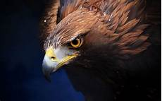 iphone black eagle wallpaper hd amazing golden eagle wide high definition wallpaper