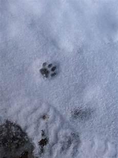 marderspuren im schnee spuren im schnee marder oder nicht vw tiguan 1