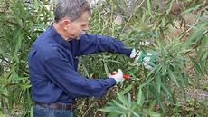 wie schneidet einen gro 223 en oleander tutorial