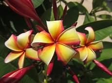 plantes par correspondance floraison frangipanier page 2
