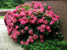 kübelpflanzen winterhart blühend gartenhortensie rot bl 252 hend lidl deutschland lidl de