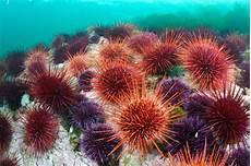 Cari Tahu Cara Sehat Penanganan Luka Tusuk Landak Laut