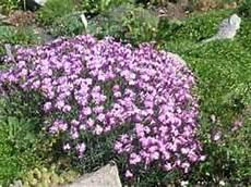 Dianthus Nelken Arten Pflanzen Standort Pflege Winterhart
