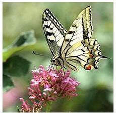 papillon en allemand algerie 1981 s 233 rie papillons philafric s