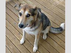 Photos de Cali, chienne Femelle Berger Allemand croisée Husky