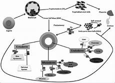 development of preimplantation embryos and generation of embryonic stem download scientific