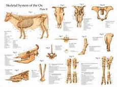 Cow Anatomy Posters