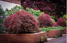 japanese maple for sale the tree center