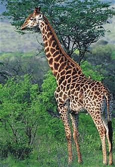 die giraffe giraffe medienwerkstatt wissen 169 2006 2017 medienwerkstatt