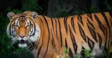Menjadi Harimau Malaya Pertama Diuji Positif Covid 19