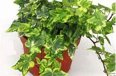 efeu zimmerpflanze pflege winterharte rankende pflanzen yx44 casaramonaacademy