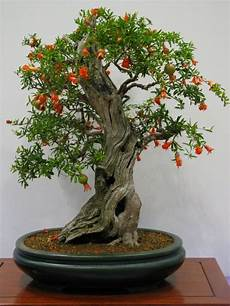 Pomegranate Bonsai Trees Punica Granatum Bonsai Tree