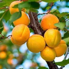 abricotier bergeron taille en gobelet en pot taille