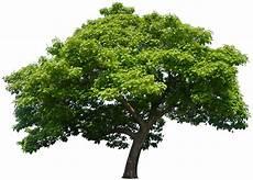 trompetenbaum schneiden 187 so gehen sie am besten vor