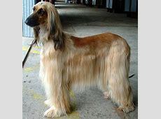 Afghan Hound   All Big Dog Breeds