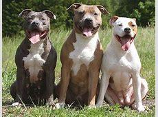 Gibt es die Rasse American Pitbull Terrier wirklich nicht