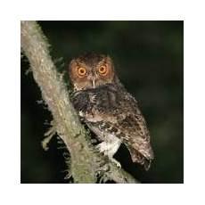 14 Jenis Burung Hantu Yang Ada Di Indonesia Burung Gue