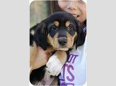 Midge   Adopted Puppy   Okotoks, AB   Beagle/Rottweiler Mix