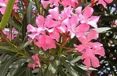 Oleander Vermehren So Geht S Beetfreunde De