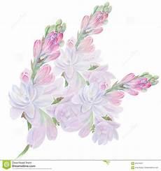 tuberose fiori tuberose fiori e germogli collage dei fiori watercolor