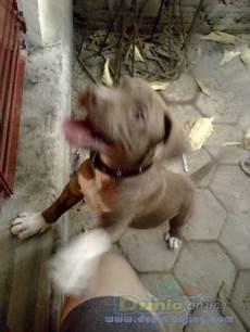 dunia anjing jual anjing american pit bull terrier pitbull lucu