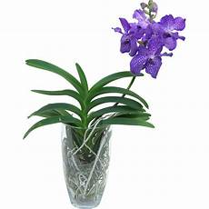 Vanda Orchidee Grossbl 252 Tig Mix 1 Trieber Im Glas Gef 228 Ss