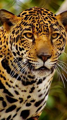 cheetah wallpaper for iphone cheetah backgrounds for iphone 13 wallpapers adorable