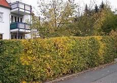 hecke immergrün ungiftig ungiftige hecken und pflanzen f 252 r spielpl 228 tze