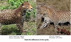 jaguar ou leopard what s the difference between cheetahs cougars jaguars