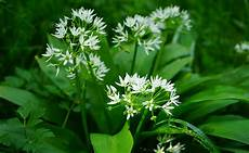 Ail Des Ours Allium Ursinum Plantation Culture Entretien
