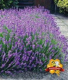 Pflanzen Günstig - lavendel hecke baldur garten auf blumen de kaufen
