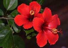 flor cayena del estado trujillo hibiscus rosa sinensis caracter 237 sticas propiedades cuidados uso medicinal y m 225 s