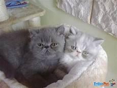 gatti persiani in vendita dolcissimi cuccioli e persiani in vendita a borgo