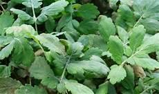 plante pour le foie des herbes m 233 dicinales qui nettoient le foie