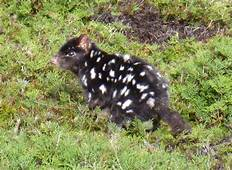 Quolls Are In Danger Of Going The Way Tasmanian Tigers