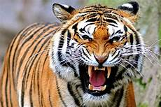 Harimau Si Kucing Besar Yang Terancam Hanya Jadi Legenda