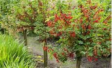 Johannisbeeren Richtig Schneiden Gardening Garden