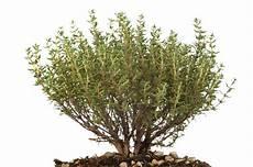 thymian pflanzen 187 ein kleiner ratgeber