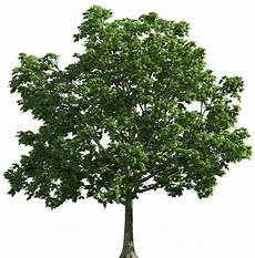 Transparent Background High Resolution Tree Png tree png image purepng free transparent cc0 png image