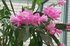 Tanaman Hias Jenis Dan Manfaat Bunga Wijaya Kusuma Yang