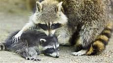 neozoen tiere auf wanderschaft wissen themen br de