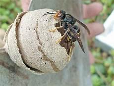 petit nid de guepe d 233 but du pi 233 geage contre le frelon asiatique journal de