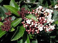 viburnum tinus winterhart viburnum tinus