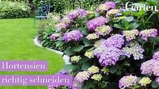 gartentipp hortensien richtig schneiden