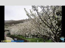 benihana cherry blossoms_image