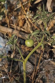 tomaten wachsen nicht 187 ursachen ma 223 nahmen