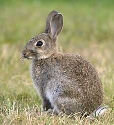 Kaninchen Im Natur Lexikon