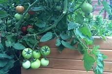 tomaten im hochbeet tomatenpflanzen tipps zum setzen pflegen und schneiden